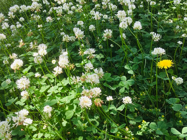 鈴の森公園クローバーの花